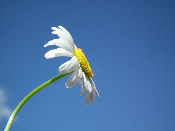flower-daisy-white-flowers-day-sky-blue-petal